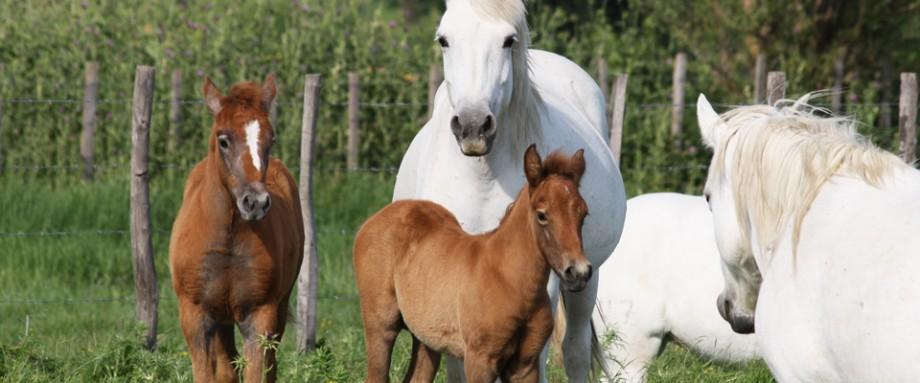 elevage taureau camargue